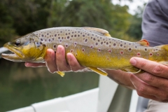 SeptBrowntrout2