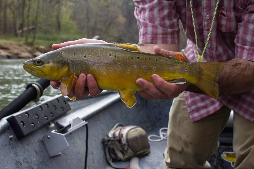 Deep south fly anglers chattahoochee river fly fishing for Trout fishing in ga